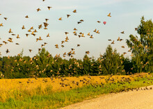 Beautiful Autumn Landscape With Many Small Migratory Birds Flying, Migratory Birds Flying Away