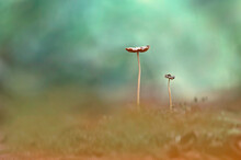 Two Mushrooms Behind The Grass