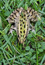 Southern Leopard Frog (Lithobates Sphenocephalus) Close-up, Ames, Iowa, USA.
