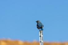 Mountain Bluebird And Blue Sky