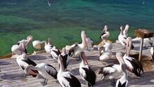 Australia Group Of Pelicans