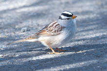 White Crowned Sparrow (Zonotrichia Leucophrys)