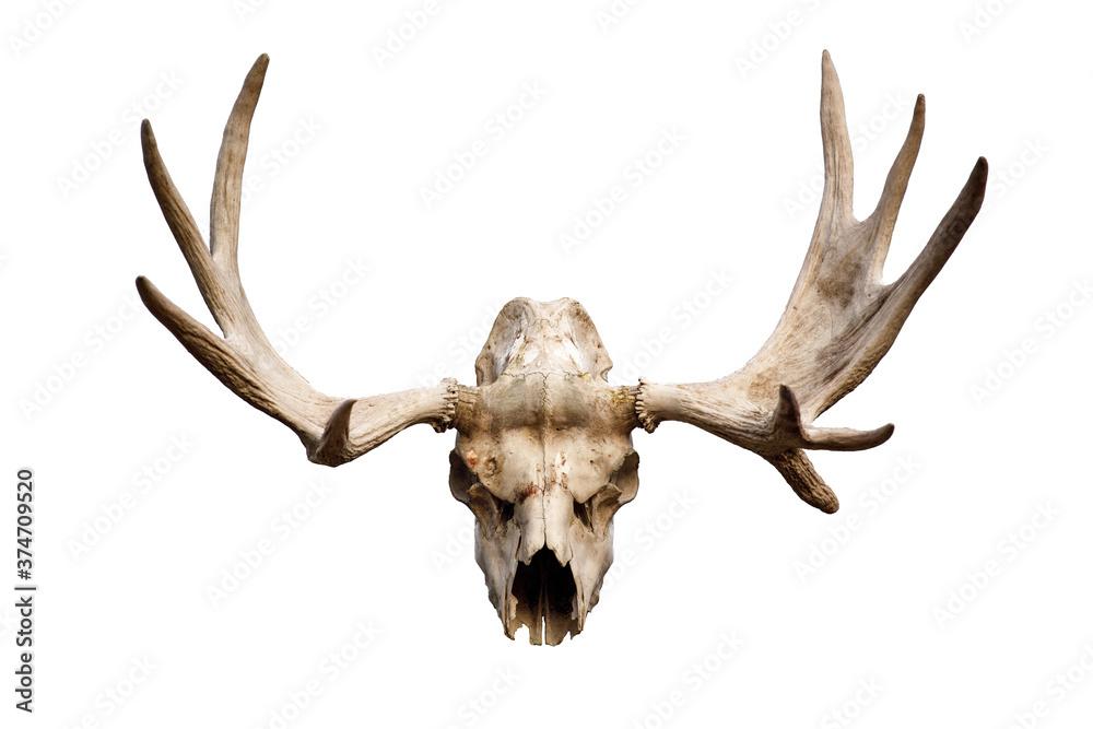 Fototapeta deer skull with antlers isolated on white background