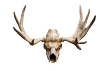Deer Skull With Antlers Isolat...