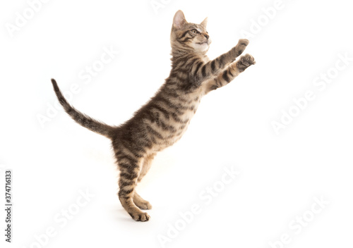 Cute tabby kitten playing on white Canvas