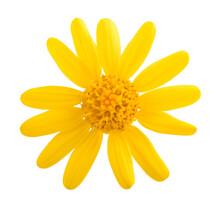 Jacobaea Vulgaris Flower