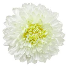 Chrysanthemum Flower, Isolated...
