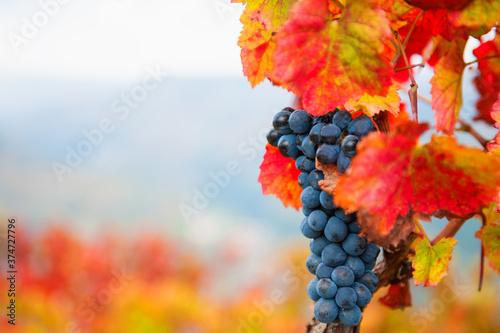 Ripe black grapes on the vine Fototapet