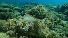 Pearly Razorfish Or Cleaver Wrasse (Xyrichtys Novacula) Undersea, Aegean Sea, Greece, Halkidiki