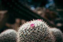 Close Up Of Cactus Blooming Pink Flowers