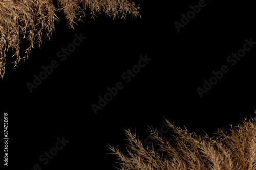 Fotomural dry isolated reeds on the black background with space for text, isolated, mock u