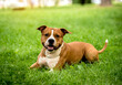 canvas print picture - Portrait of cute american staffordshire terrier at the park.