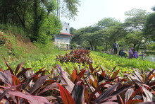 Red Cordyline Fruticosa In The Garden