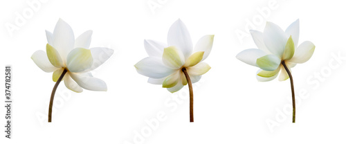 Fototapeta White Lotus flower collections isolated on white background
