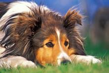 Shetland Sheepdog Watching, Portrait Closeup