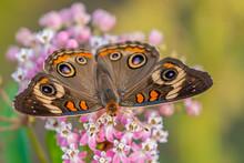 """Common Buckeye Butterfly Feed..."