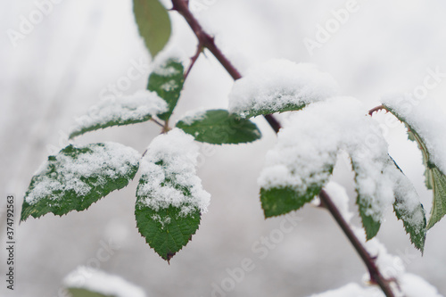 Image of green leaves of a wild rose under the snow. Wallpaper Mural