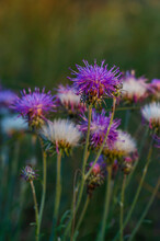 White-purple Flowers Of Cornflower Close-up.