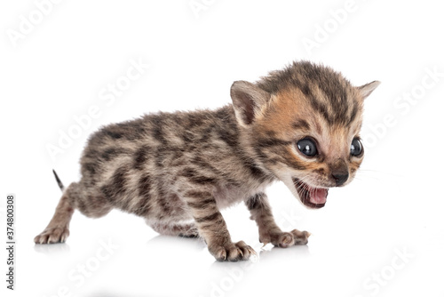 Fotografija bengal kitten in studio