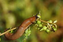 Red Slug, Large Red Slug, Chocolate Arion, European Red Slug (Arion Rufus) Or Spanish Slug (Arion Vulgaris). Family Roundback Slugs, Round Back Slugs (Arionidae). Feeding On A Plant In A Dutch Garden.