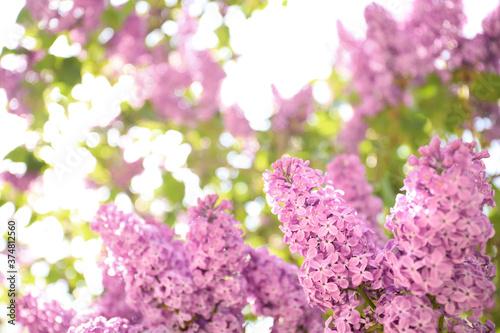 Fotografia Closeup view of beautiful blossoming lilac shrub outdoors