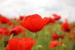 Beautiful red poppy flowers growing in field, closeup