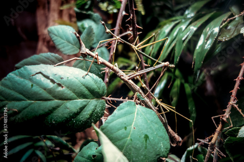 Fotomural Stick insect - Phasmatodea -  in tropical forest