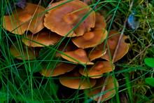 Cluster Of Brown Mushrooms Sit...
