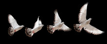 Pigeon Flying, White Doves Isolated With Clipping Path On A Black Background