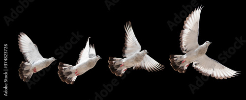 Stampa su Tela Pigeon flying, white doves isolated with clipping path on a black background