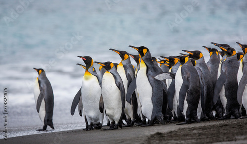 Fototapeta A penguin colony in Antarctica, beautiful penguins going to the water