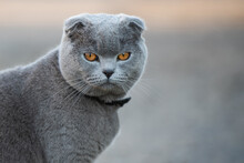 Face Of Scottish Fold Cat With...