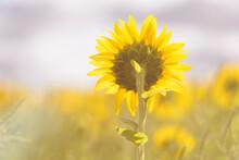 Dreamy Sunflower Backside Scenery