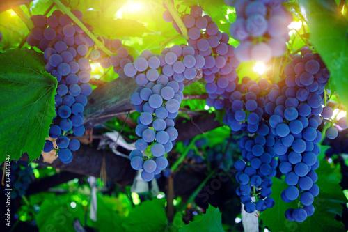 Fotografiet Dangling cluster of bright blue, ripe Isabella grapes.