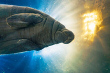 Portrait Of Manatee In Captivi...