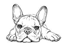 Cute French Bulldog Puppy Sketch