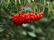 canvas print picture Rowan Red Berries