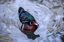 A Wood Duck In Silver Water