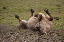 Wild Konik Horse Rolling On Its Back On The Ground
