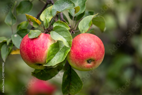 Organic apples on the branch.  Bio healthy apples food in the summer. Red apples with leaves in the garden.