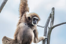 Gibbon Monkey Belong To The Group Of Lesser Apes. Gibbons Live In Subtropical And Tropical Rainforest From Eastern Bangladesh To Northeast India To Southern China And Indonesia