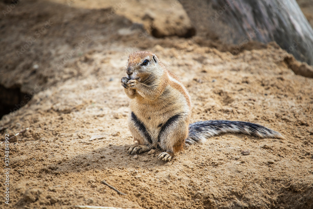 Ground squirrel burrow in loose soil, often under mesquite trees and creosote bushes. Xerospermophilus tereticaudus has round tail.
