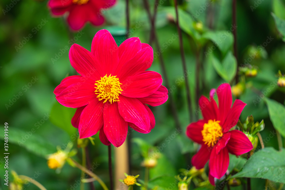 Cosmos bipinnatus, commonly called the garden cosmos or Mexican aster is a medium-sized flowering herbaceous plant native to the Americas