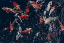 Koi Swimming In A Water Garden,fancy Carp Fish,koi Fishes,koi Fish Swim In Pond.isolate Background