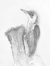 Green Wodpecker (Picus Viridis...