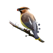 Bohemian Waxwing Digital Art Illustration Isolated On White. Starling-sized Passerine Bird Mainly Buff-grey Plumage, Black Face Markings And Pointed Crest Sitting On Branch With Berry In Beak