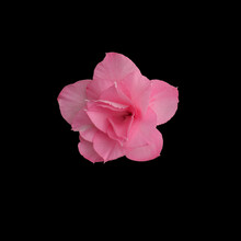 Closeup Shot Of A Pink Flower Isolated On Black Background