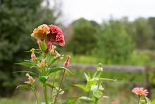 Cockscomb / Celosia Flower In Garden