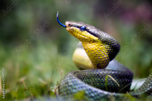 Fotografie, Obraz Gonyosoma Oxycephala, Javanese Green Snake - Amazing Animal Reptile Photo Series