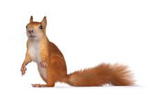 Red Japanese Lis Squirrel, Sta...